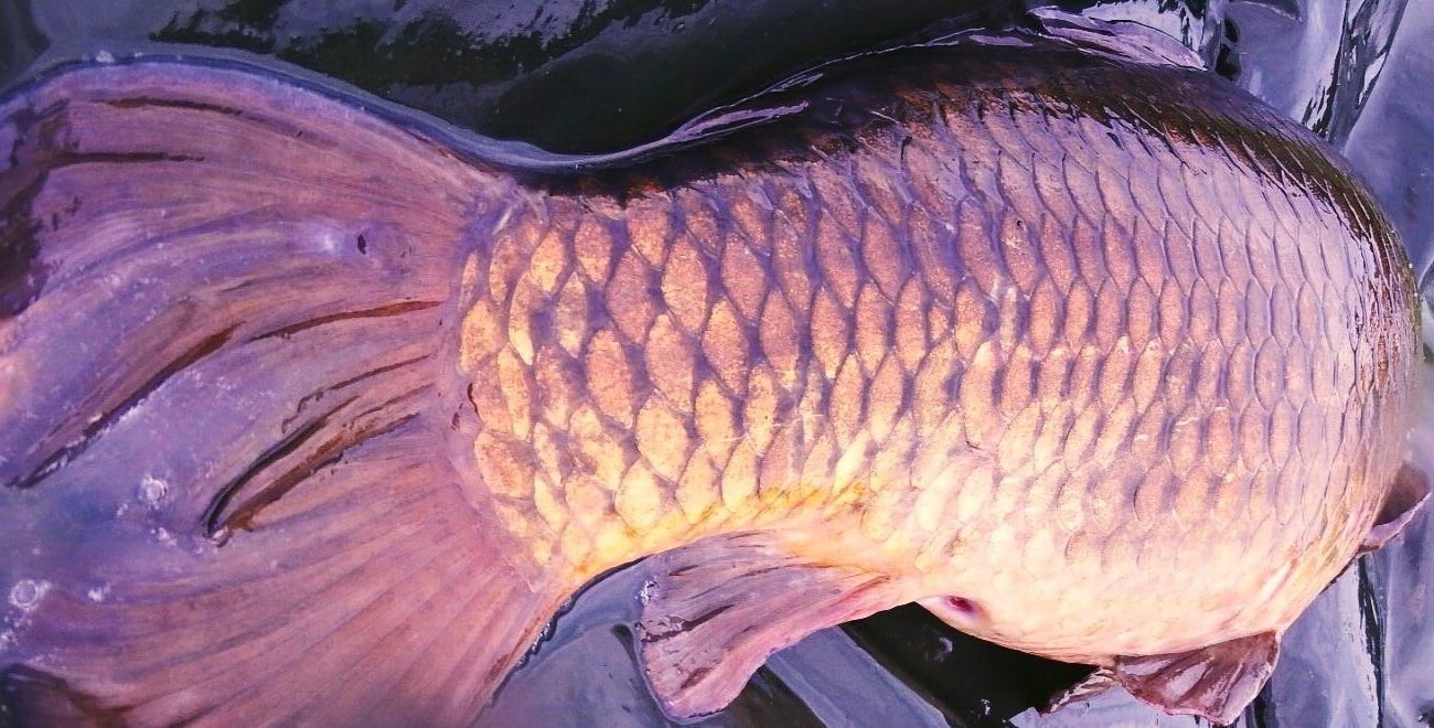 A dark chestnut carp landed at Elton Carp Lakes